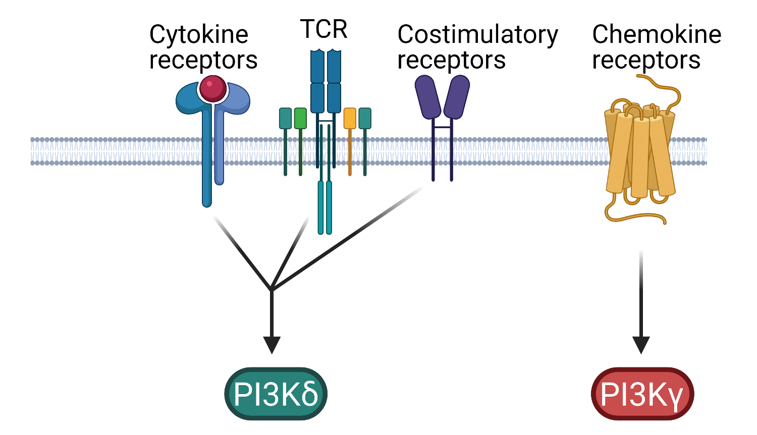 T cell activation of PI3Kd and PI3Kg