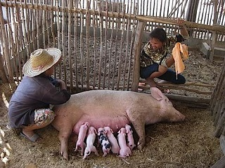 Figure 2 Good porcine mothering behaviour in the immediate postnatal period. Passive presentation of teats.