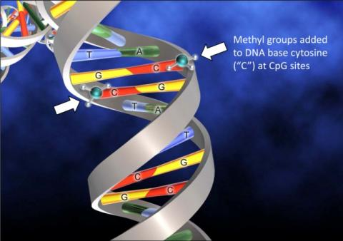 Figure 3 The common epigenetic DNA modification represented by methylation of cytosine.